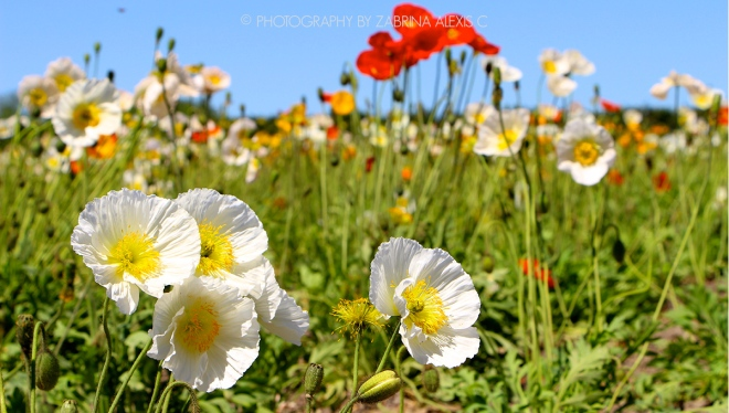 Poppies in Furano