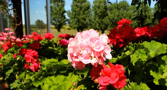 Flowers at Farm Tomita Greenhouse