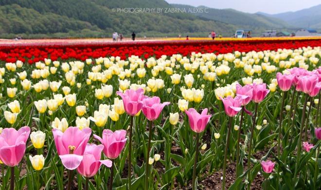 Kamiyubetsu Tulip Park Yubetsu Hokkaido Japan Travel Blog