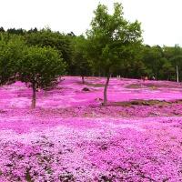 Travel Diary: Takinoue Pink Moss Park, Asahikawa, Hokkaido, Japan (Gallery)