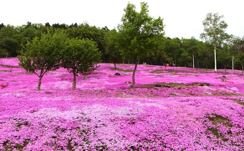 Travel Diary: Takinoue Pink Moss Park, Asahikawa, Hokkaido, Japan(Gallery)