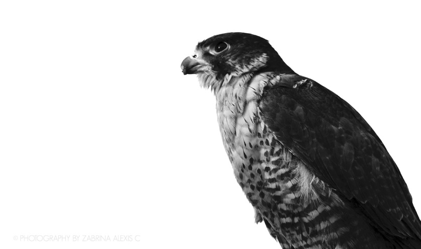 Prose by Photography: The Falconsees